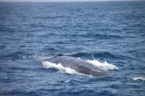 Blue whale Photo credit: Sarah Gardner